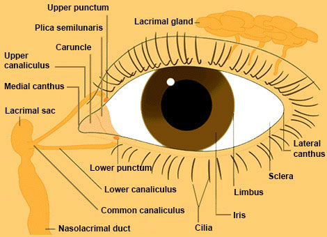 Eye From Front : Anatomy : The Eyes Have It